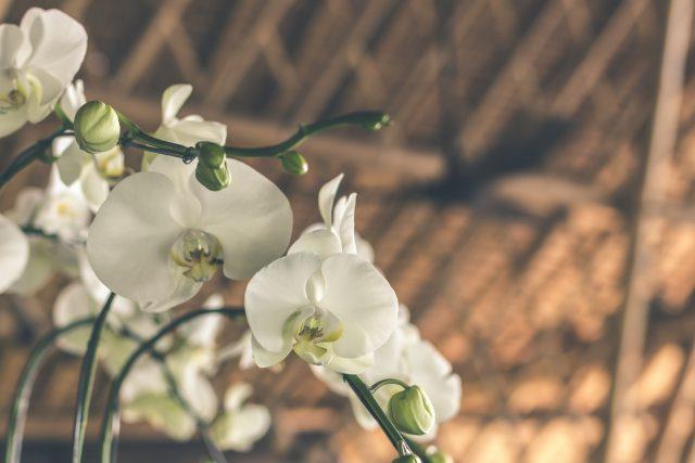 Chcesz mieć piękne storczyki? To musisz wiedzieć o ich pielęgnacji!